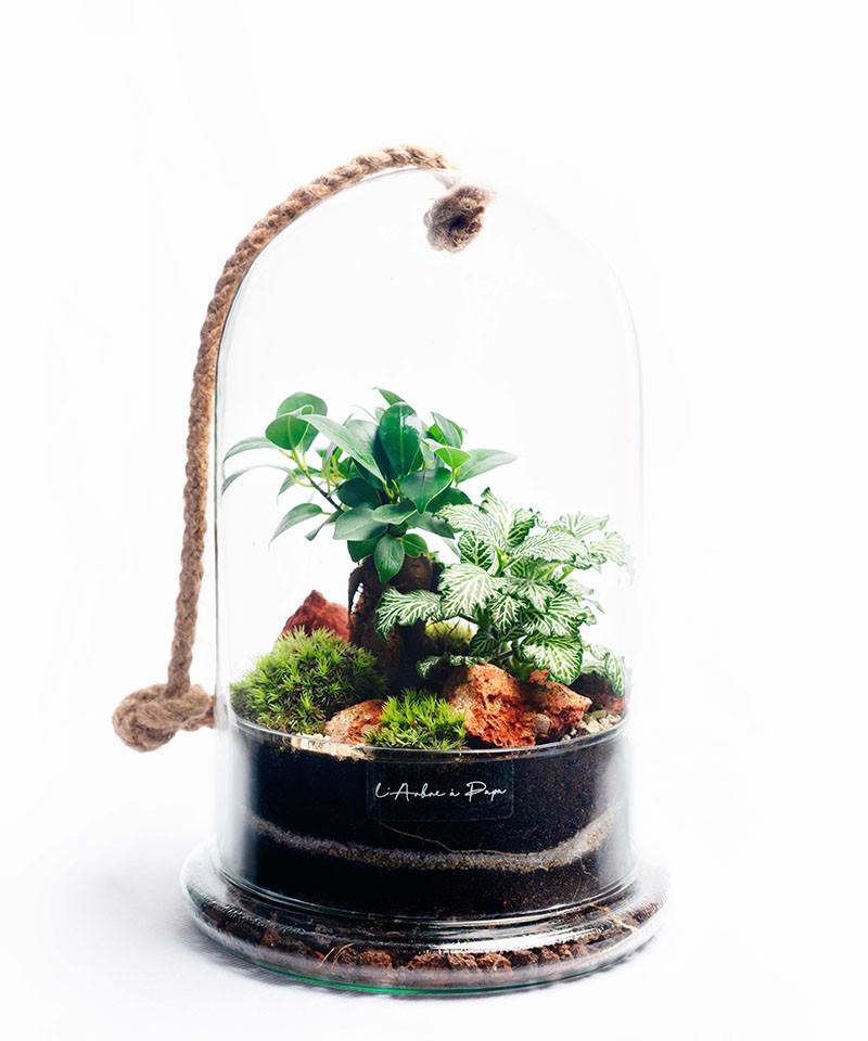 Terrarium modèle cloche, Ficus Ginseng, Fittonia