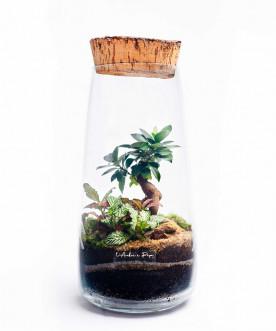 Terrarium moyen modèle, Ficus Ginseng, Fittonia, bouchon de liège